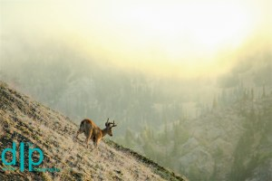 Deer at Sunrise, Hurricane Ridge, Olympic National Park