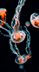 Jellyfis-17.png 3