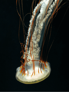 Jellyfis-8.png 3