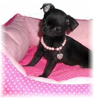 Chiots Chihuahua LOF Vendre Elevage De Nottingley