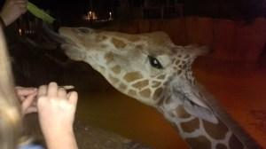Giraffe at the Dallas Zoo