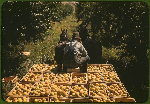 Hauling crates of peaches from the orchard to the shipping shed. Delta County, Colorado, September 1940. Reproduction from color slide. Prints and Photographs Division, Library of Congress
