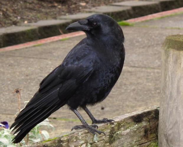 A crow is pictured in Langley, Wash., on Dec. 3, 2012.