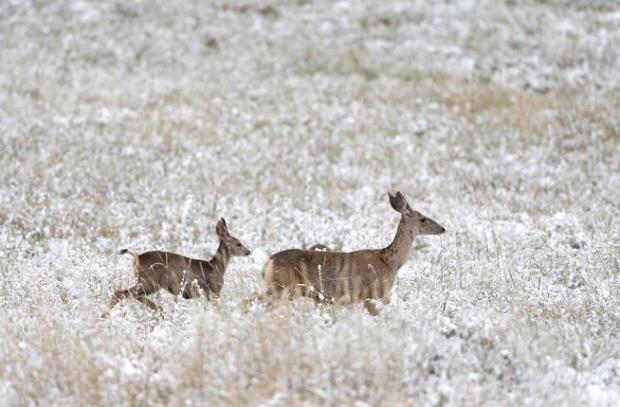 Deer forage near Boulder in 2014.