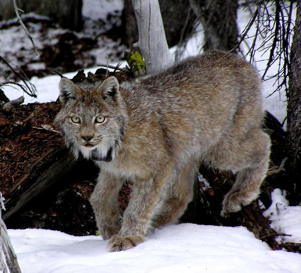 This January 2006 photo provided by the Colorado Division of Wildlife shows a lynx in the San Juan Mountains south of Creede.