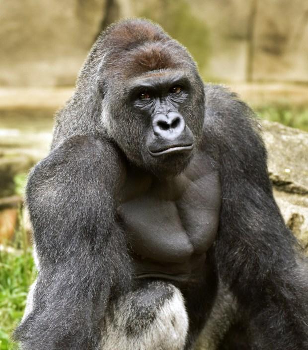 Cincinnati Zoo to re-open gorilla exhibit with higher barrier