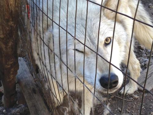 Rescued wolf dog in recovery after emergency surgery