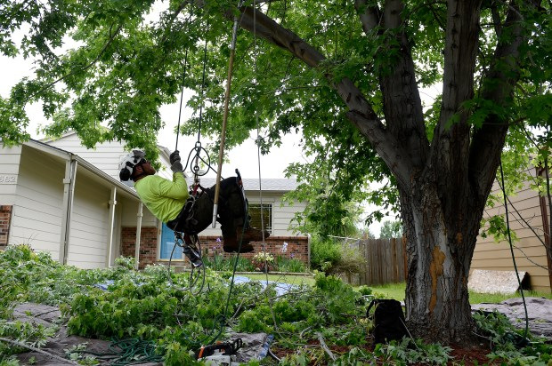 Israel Showvaker uses a rope to climb into a maple tree while trimming the tree June 8 at a home in Aurora.