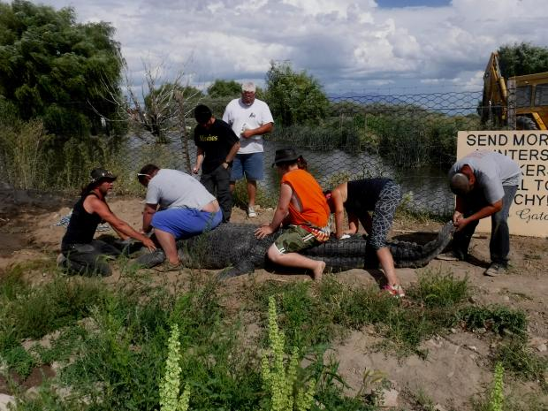 It took several people to coerce the 12.5-foot alligator named Bruce from a modified horse trailer into his new enclosure at Colorado Gators Reptile Park in Mosca. Jay Young, the owner at Colorado Gators, says Bruce is the largest alligator in the West. Photo courtesy of Jay Young.