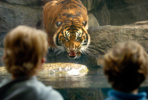 Besar , one of three new Sumatran tiger brothers living at the Downtown Aquarium, stares her down visitors while acclimating to his new environment on Wednesday. Besar and his brothers, Marah , and Jalan , were brought in from Washington DC at the Smithsonian Institute's National Zoo where they were born on May 2, 2004.</body></html>