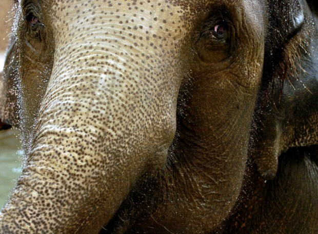 Water dropplets cling to the small hairs on Dolly the elephant's face in this 2006 file photo. Dolly, the oldest elephant at the Denver Zoo, has been moved into hospice care.