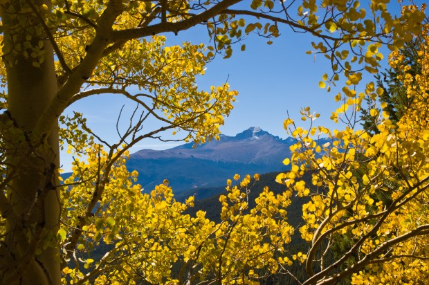 Longs Peak towers beyond autumn aspen, Many Parks Curve, Rocky Mountain National Park, Colorado.