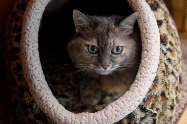 A cat rests in his carrier at Cat Care Society in Lakewood , Colorado on September 7, 2016. The Cat Care Society in Lakewood is growing and expanding this year.
