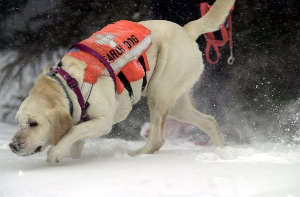 "Larimer County Search and Rescue dog Rosie tracks ""victims"" buried in the snow during a avalanche training exercise Feb. 11, 2001, at Cameron Pass, Colo. Despite increasing avalanche death tolls, hikers, skiers, snowboarders and snowmobilers continue to head into the nation's backcountry."