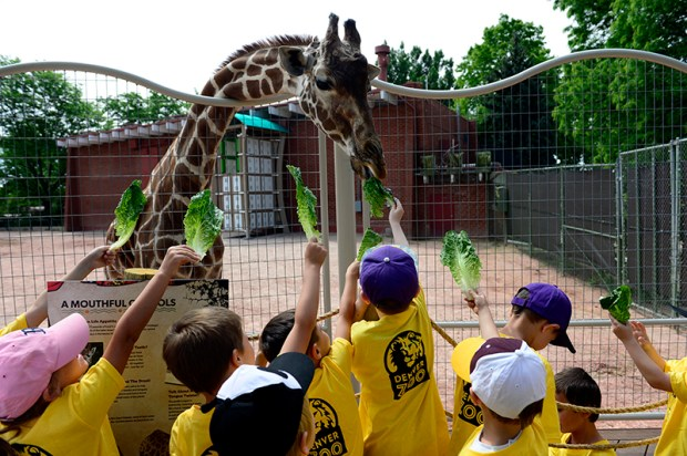 Children feed lettuce to a giraffe at the Denver Zoo on June 22, 2015. Voters will decide this fall whether to renew the tax on the seven-county Scientific and Cultural Facilities District, which funds the zoo and hundreds of other organizations.