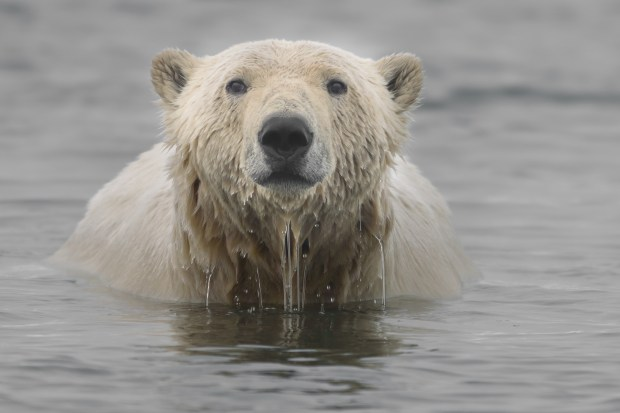 A polar bear swims in the Beaufort Sea on the northern coast of Alaska. Protected marine mammals, polar bears spend much of their lives in and around water and are well adapted for swimming.