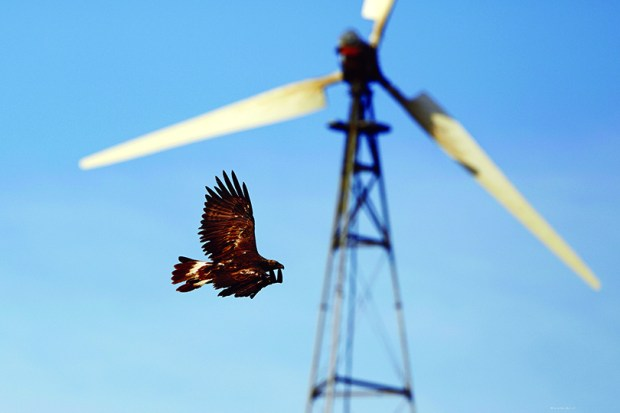 A golden eagle flies past a wind turbine on Altamont Pass near Livermore, Calif.