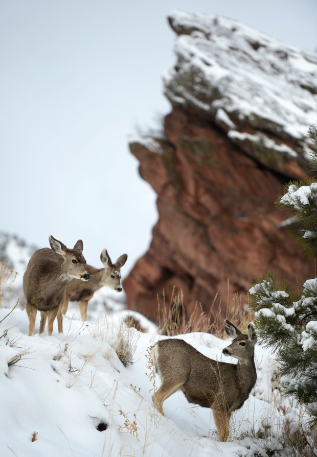 The deer don't seem to mind a few inches of fresh snow at Red Rocks Park in February 2016.
