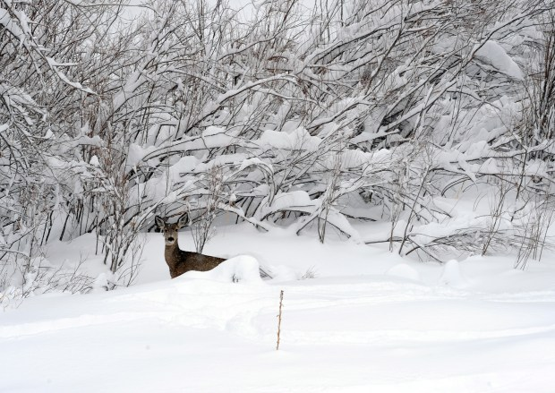 A deer makes its way through deep snow at White Ranch in Golden in 2010.