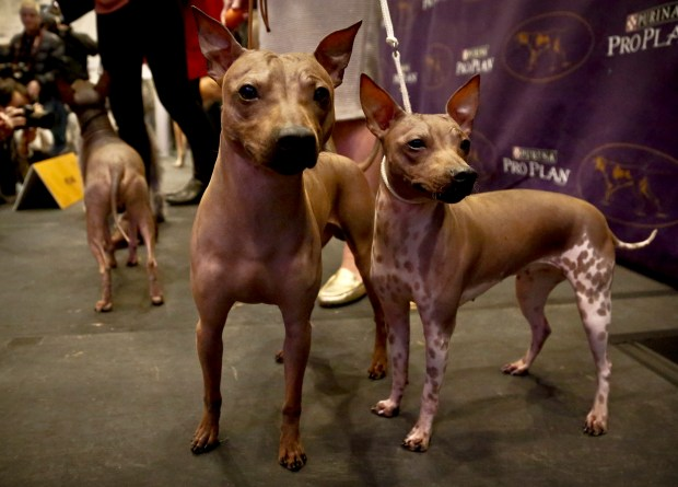 Candy, 2, left, Rodney, 7, center, and Johnny, 2, three American Hairless Terrier breeds owned by Virginia's Sue Medhurst are shown at a news conference, Monday Jan. 30, 2017, in New York. The dogs are among three new breeds competing in the Westminster Kennel Club Dog Show at Madison Square Garden.