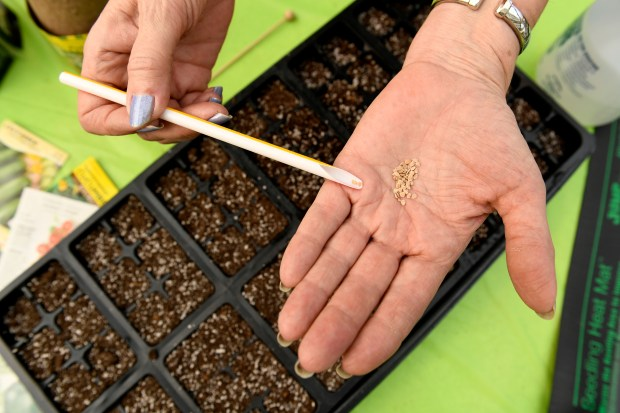 Tagawa Gardens' Garden Advisor Linda Larsen uses a cut straw to carefully pick individual Crimson Cushion Beefsteak tomato seeds to place in small trays to begin the cultivation process of growing them for your garden on February 6, 2017 in Centennial, Colorado. Larsen, who is also a master gardener and bee keeper, goes through a step by step process on how to begin the process of cultivating seeds to plants for your summer garden.