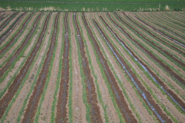 An irrigated garlic field on Dan Hobbs' farm near Avondale, east of Pueblo, Colorado.