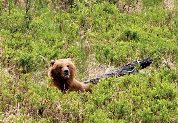 A wounded grizzly bear is seen in Soldotna, Alaska on June 15, 2008.