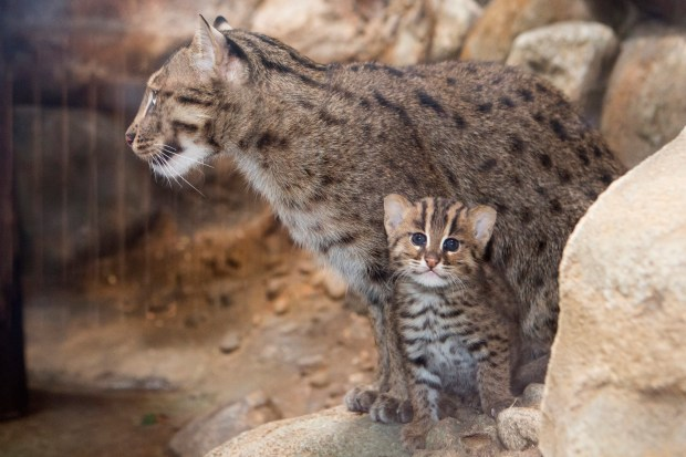 A fishing cat was just born at the denver zoo and miso for Fish videos for cats