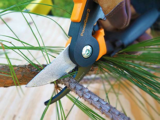 A photo of bypass pruners being used to cut a pine branch.