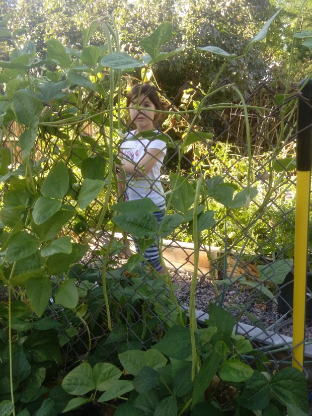 Long beans, also called asparagus beans, take a long time to grow. But the results are foot-long and longer beans that are a hit with kids because of the novelty and crunch.