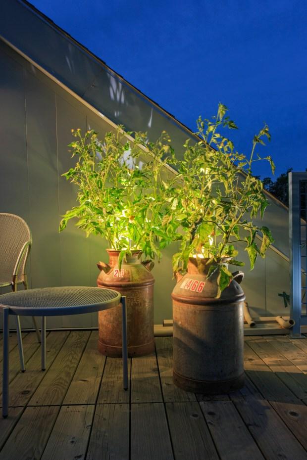 Repurposed steel milk jugs growing tomatoes ...