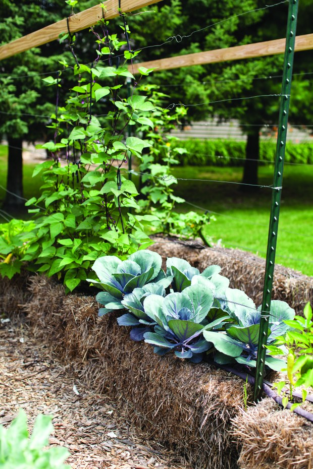 a photo of cabbage beans and peppers growing in straw bales gardening - Straw Bale Garden