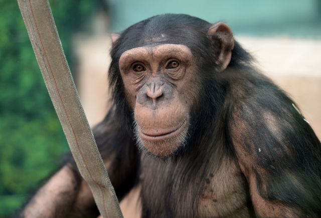 chimpanzee vs gorilla vs chimpanzees