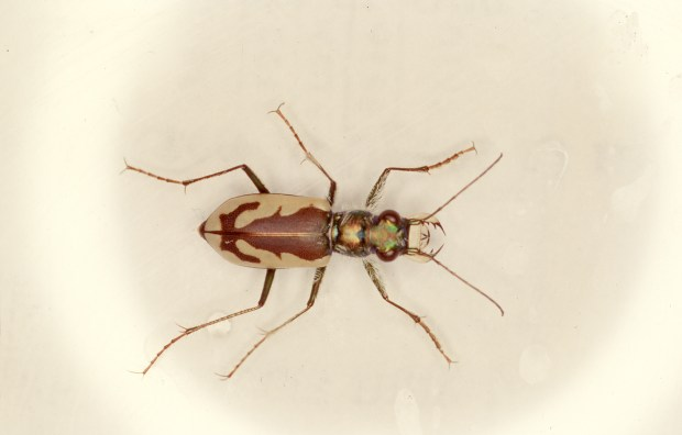 Great Sand Dunes Tiger Beetle (Photo courtesy of Phyllis Pineda Bovin, National Park Service)