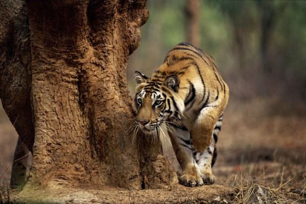 A tigress stalks around a tree ...