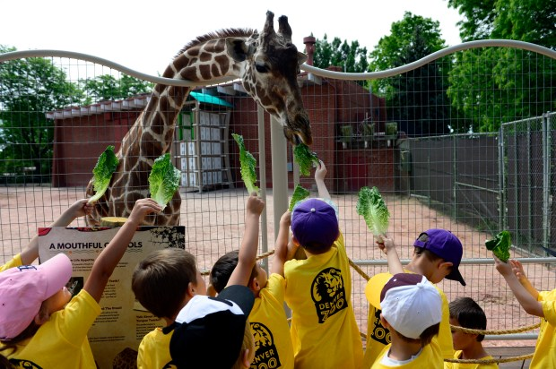Children feed lettuce to a giraffe at the Denver Zoo in 2015. A study published this month said the populations of nearly 9,000 vertebrate species, including giraffes and lions, have significantly since 1900.