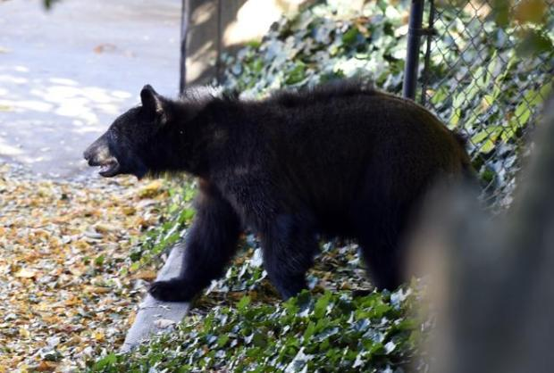 A bear is seen near the University of Colorado campus in Boulder last October.