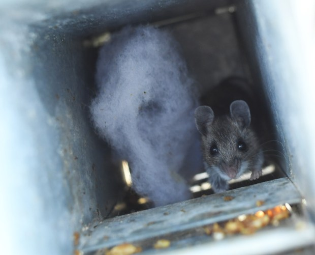 A deer mouse is caught in ...