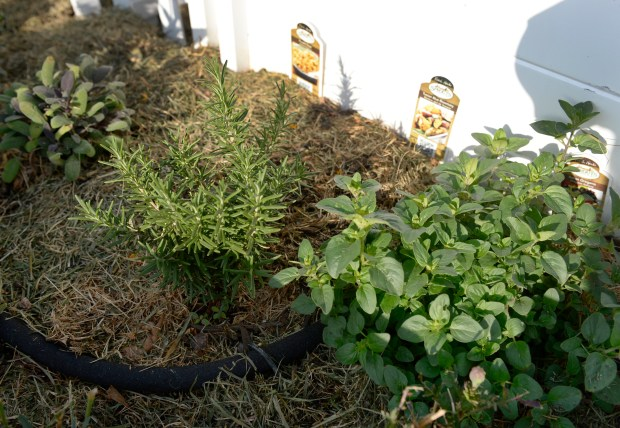 Megan Keefe planted herbs such as oregano and rosemary in one section of the garden.