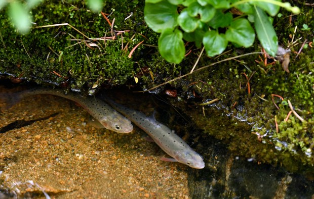 Yearling greenback cutthroat trout, just released into Herman Gulch, look for cover in their new environment on July 17 near Silver Plume. Bruce Finley reported that Colorado Parks and Wildlife, along with volunteers from Trout Unlimited and other conservation groups, released nearly 1,000 greenback cutthroats into Herman Gulch to help them make it in their ancestral home.