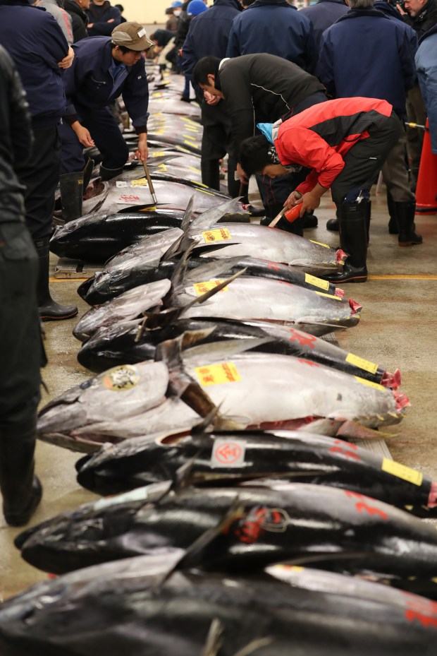 Fishmongers inspect fresh bluefin tuna before the first auction of the new year at Tokyo's Tsukiji fish market on January 5, 2017. Efforts in the U.S. to have the fish listed as endangered were rejected by federal fisheries managers.