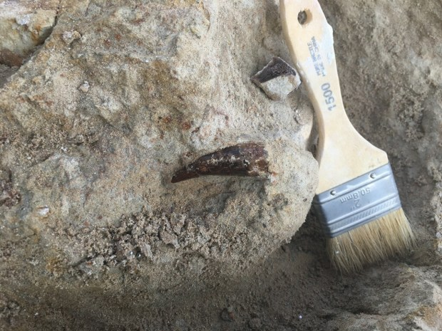 A picture of the T. rex tooth next to a paint brush for scale. The large dinosaur was likely a scavenger.