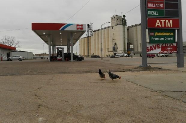Chickens roam around town on Nov. ...