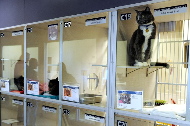 Cats await adoption at the Denver Dumb Friends League on March 4, 2015. A Denver City Council committee recently approved a ban on declawing cats.