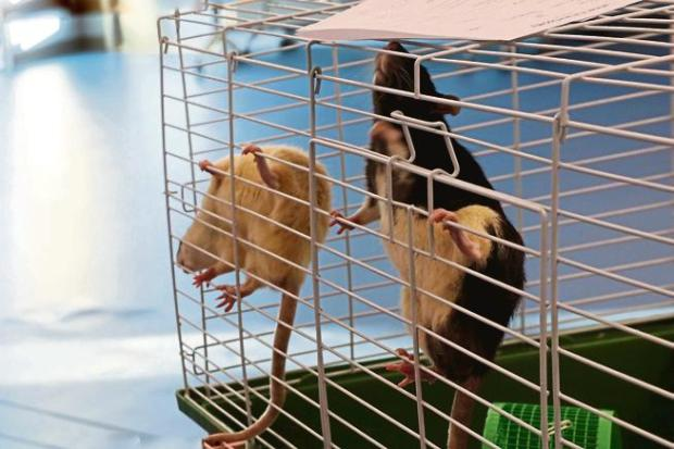 Two of about 80 pet rats rescued from Fort Collins natural areas Thursday and Friday climb the bars of their cage Friday. Though some of the rats spent a night outdoors in frigid weather, the majority seem healthy and energetic.
