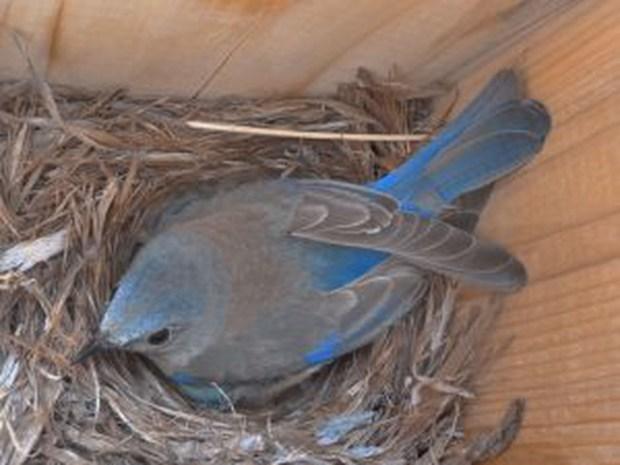 A western bluebird guards her clutch of eggs in a nesting box in a natural gas field.