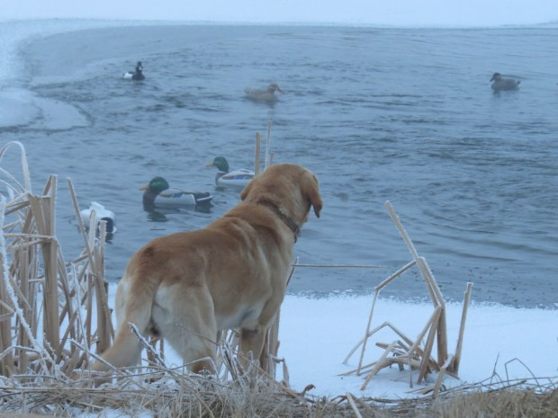 Pride as he looks over the duck decoys