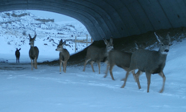 A herd of deer walk through a wildlife crossing in the snow.