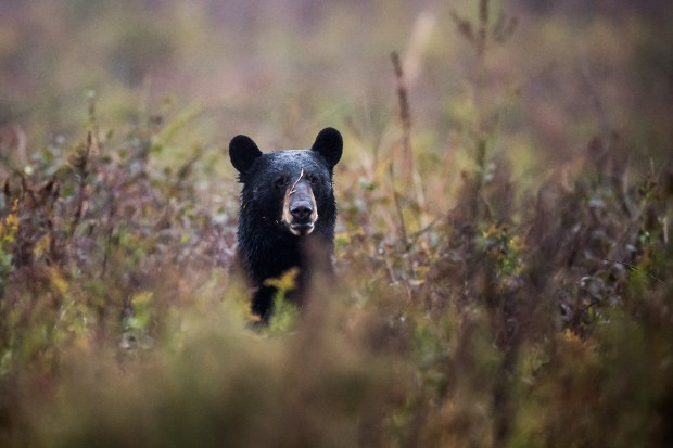A black bear rises in a field at the Alligator River National Wildlife Refuge.