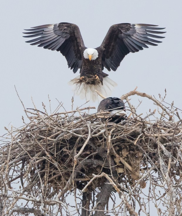 Boulder photographer Dana Bove captured images of a breeding pair of bald eagles in their nest near Stearns Lake in Boulder County. The eagles are the focus of a lawsuit filed Wednesday against the U.S. Fish and Wildlife Service and the Department of Interior asking a federal judge to block a permit issued last week to allow new housing to be built north of Flatiron Crossing mall in Broomfield.